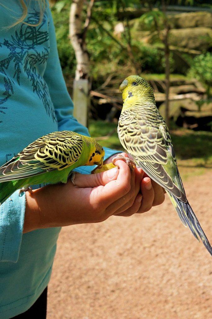 aves pisiformes