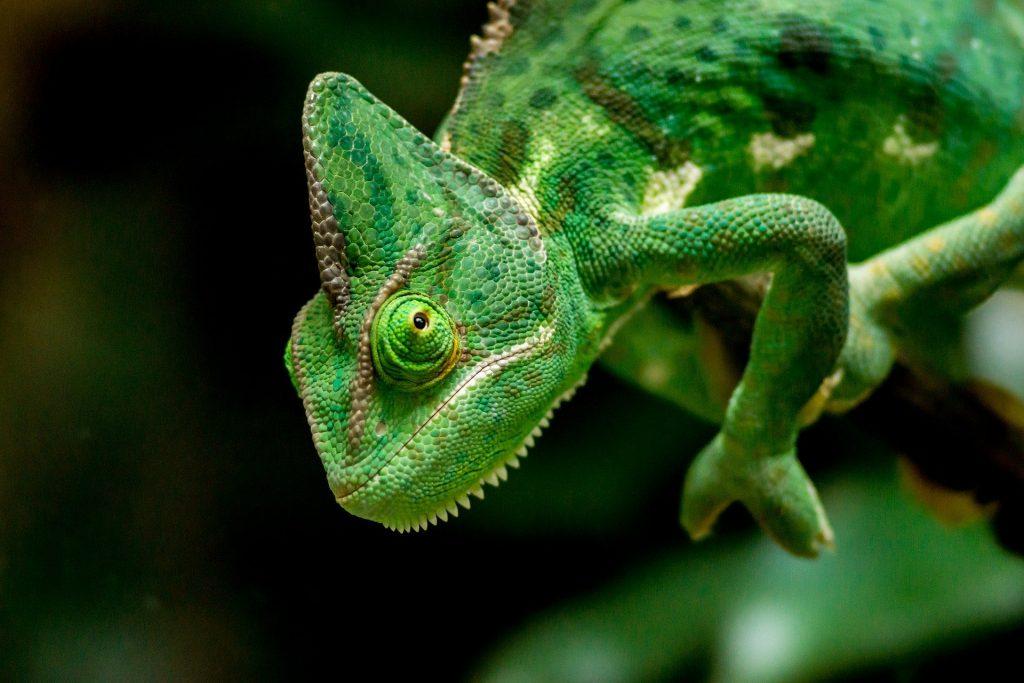 La imagen tiene un atributo ALT vacío; su nombre de archivo es reptil-camaleon-1024x683.jpg