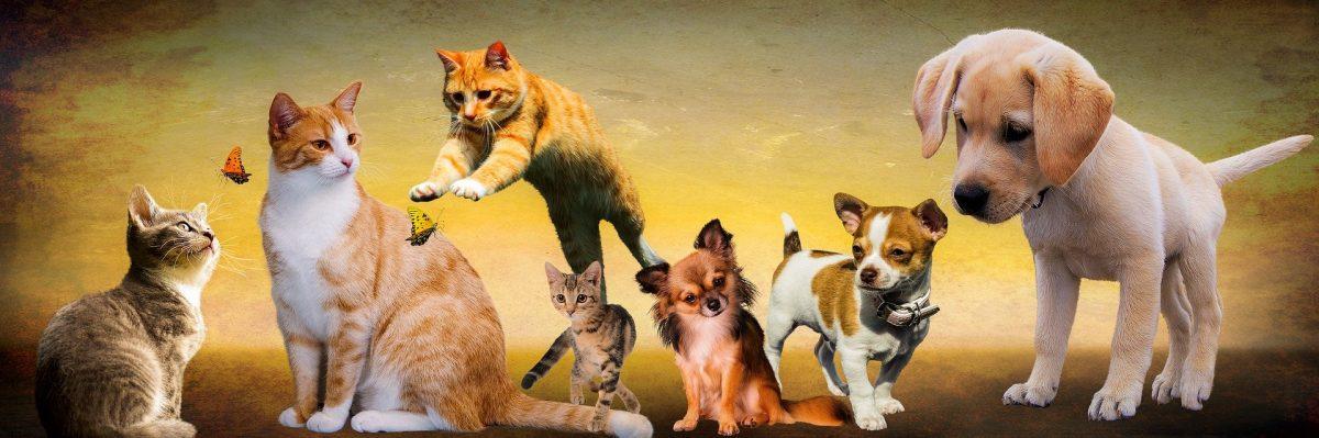Mascotas en casa: perro, gato, loro, hamster, betta splender¿Cuál es la tuya?